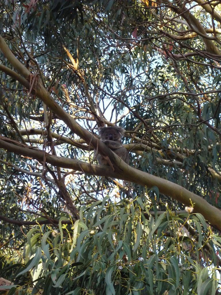 """Mi primer koala, diciéndome clarísimamente """"llévame a tu casa"""""""