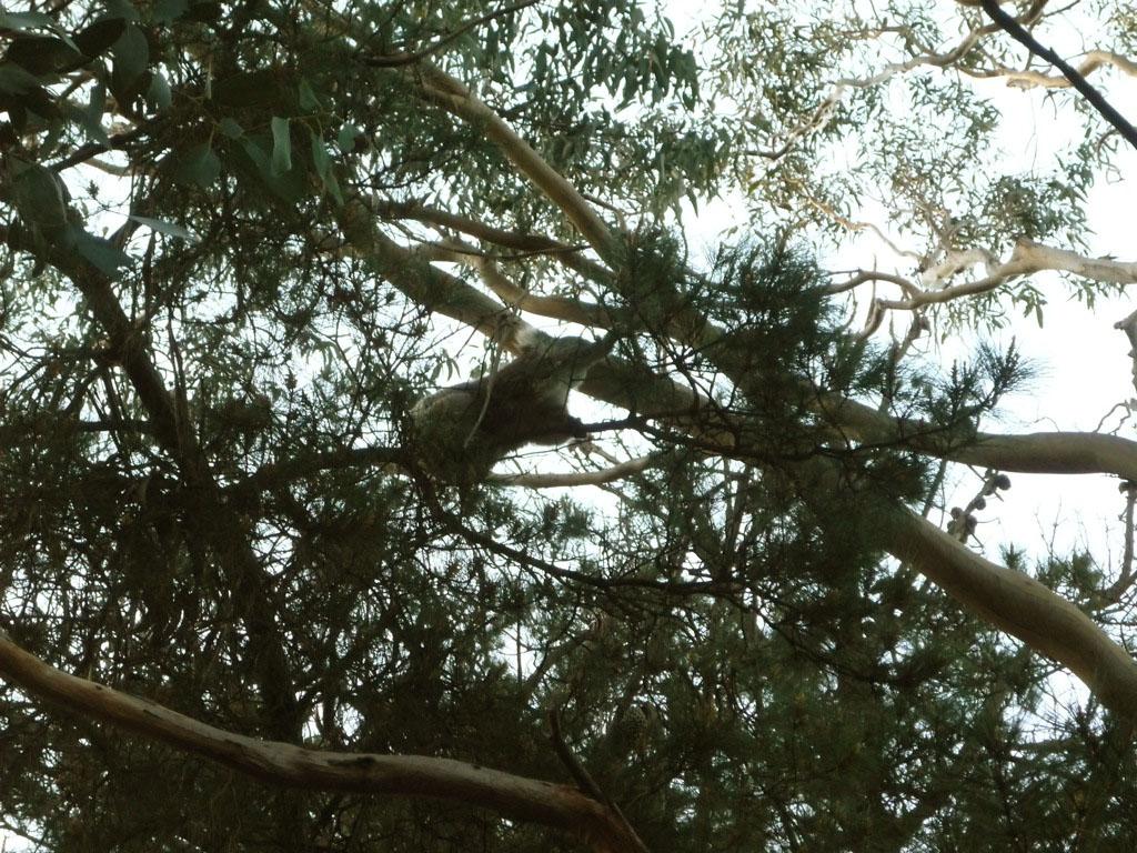 Koala en un frenesí de actividad